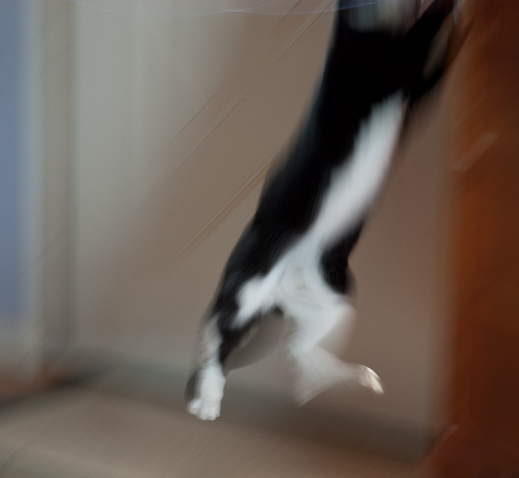 A cat chasing a toy